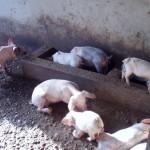 SEPR pig project 2013 1