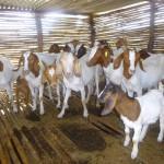 SSAI Goat project for Ajugo Martin in Moli.Feb 2015