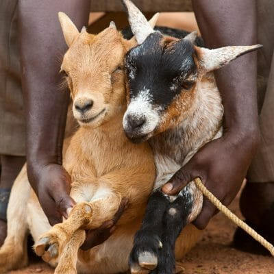 Pair of Baby Goats