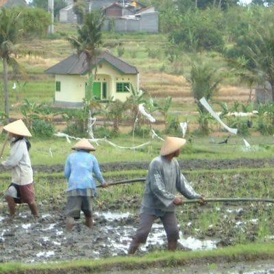 Bali WorkingInRiceFields3 Jun2002