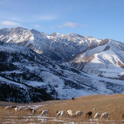 Kyrg Mtns Sheep Dec2005