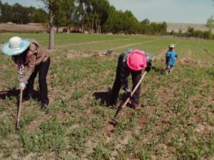 CHTM-Sister Chao helping in farming field