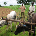church planters with their bullocks and plow