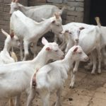 Goats for HIV Family Growing up