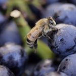 Bee atracted by grapes