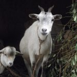 give two goats gain a herd