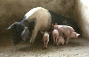 Pigsty 7