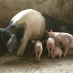Supporting Ministry through Breeding Pigs