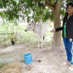 cow bank benefits widow