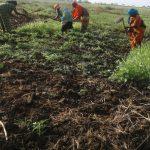 KESM Women Cultivating