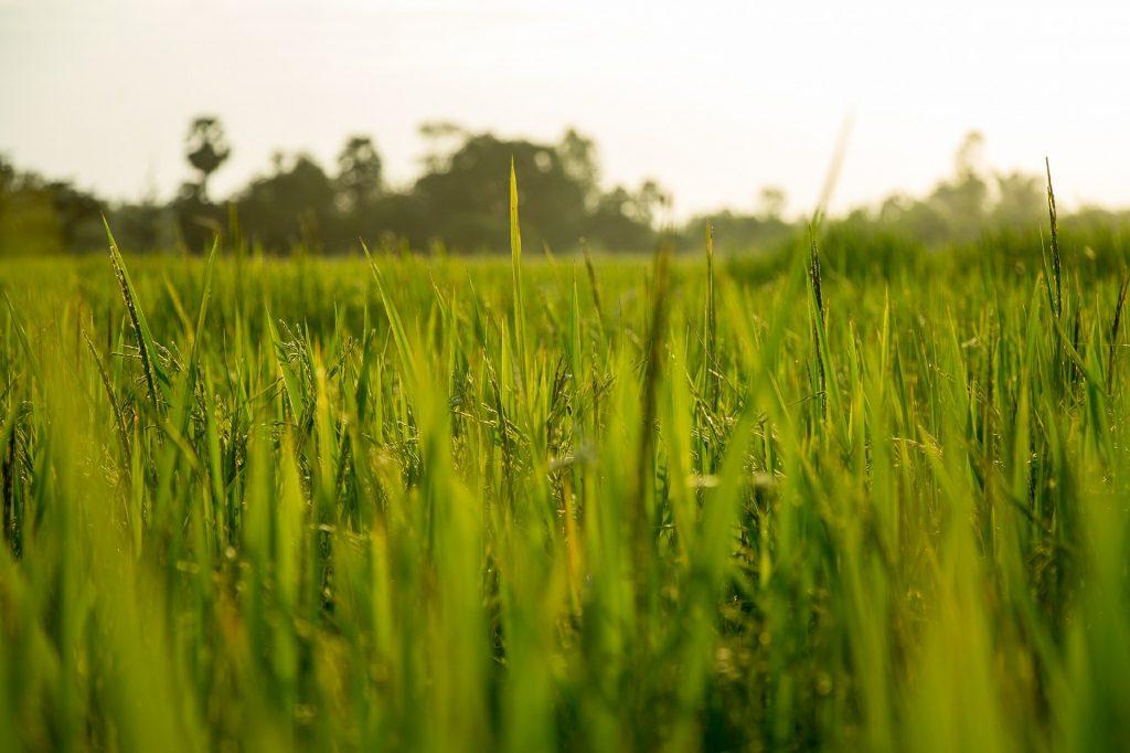 field of rice